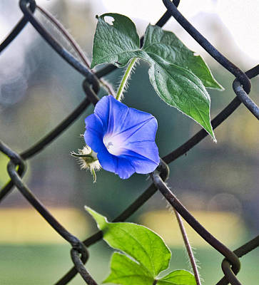 Photograph - Fence Beauty by Linda Brown