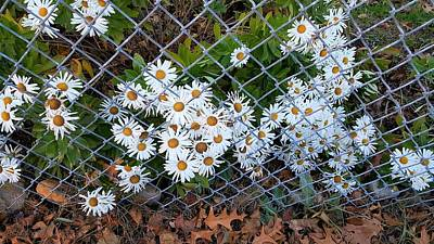Photograph - Fence Daisys by Rob Hans