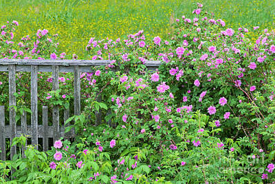 Photograph - Fence Line Roses by Alan L Graham