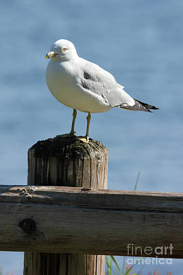 Photograph - Fence Post Seagull by Bill Woodstock