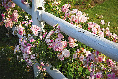 Fence With Pink Roses Art Print by Elena Elisseeva