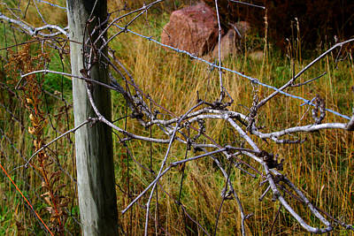 Photograph - Fence  With  Vines by William Meemken