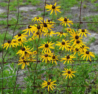 Photograph - Fenced - Black Eyed Susans by rd Erickson