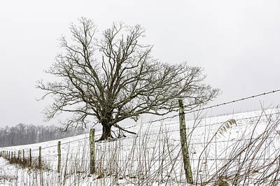 Photograph - Fenced In Oak Tree  by Ken Barrett
