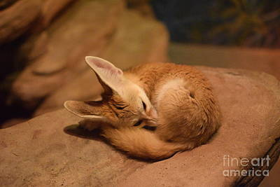 Fennec Fox Sleeping Art Print by Jennifer Craft