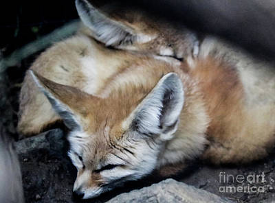 Photograph - Fennec Foxes by Suzanne Luft