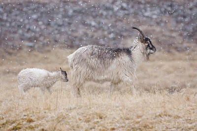 Photograph - Feral Goat With Calf - Scottish Highlands by Karen Van Der Zijden