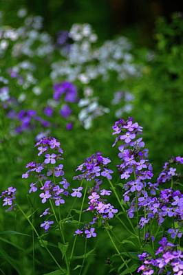 Photograph - Feral Phlox by Tim Good