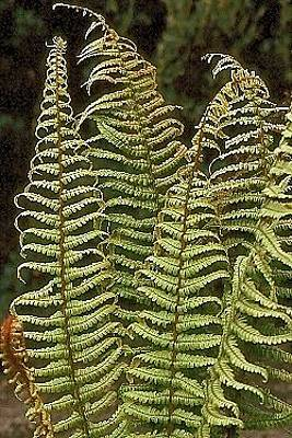 Photograph - Fern 2 by Douglas Pike