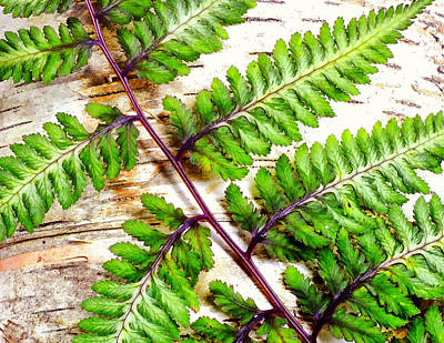 Photograph - Fern Against Birsh by Peg Runyan