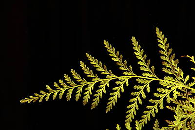 Photograph - Fern by Allen Nice-Webb