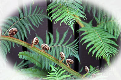 Photograph - Fern Beginning To Unwind IIi by Jim Fitzpatrick