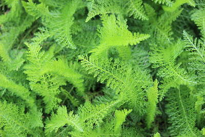 Photograph - Fern by Beth Vincent