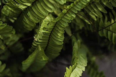 Photograph - Fern by Chris Coffee