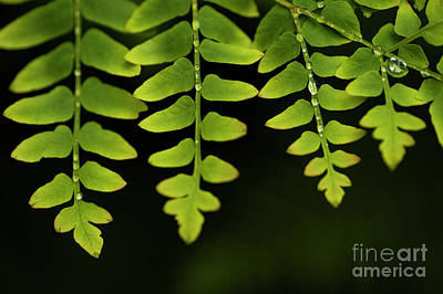 Photograph - Fern Close-up Of Water Droplets  by Jim Corwin
