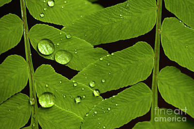 Photograph - Fern Close-up With Water Droplets  by Jim Corwin