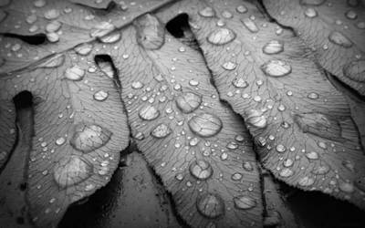 Photograph - Fern Drops In Black And White by Deborah Smith