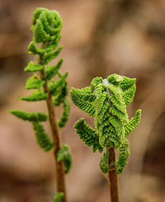 Photograph - Fern Duo by Jean Noren