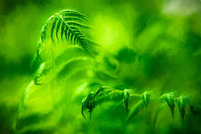 Photograph - Fern Engagement by Chris Bordeleau