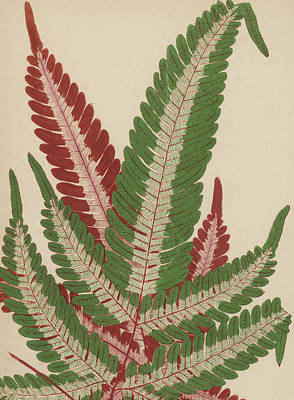Garden Drawing - Fern by English School