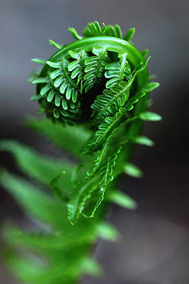 Photograph - Fern Frond by Debbie Oppermann
