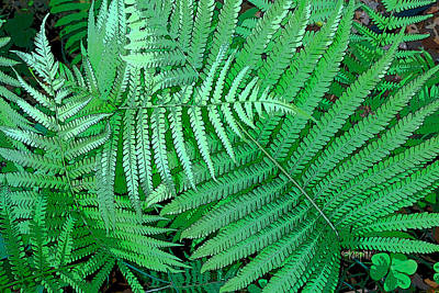 Photograph - Fern Frond - Spring Foliage by Rebecca Korpita