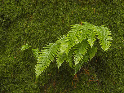 Photograph - Fern Fronds On Moss by Jean Noren