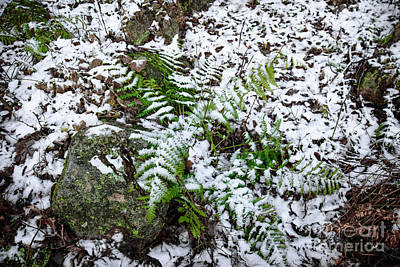 Photograph - Fern In Snow by Alana Ranney