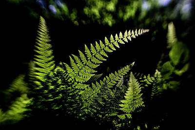 Photograph - Fern In The Sun  by Sven Brogren