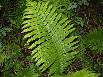 Photograph - Fern Leaf In June by Kent Lorentzen