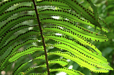 Photograph - Fern Leaf by Michelle Meenawong
