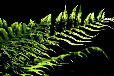 Photograph - Fern Leaf On Black by Nadalyn Larsen