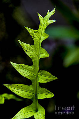 Photograph - Fern Leaf by Rich Governali