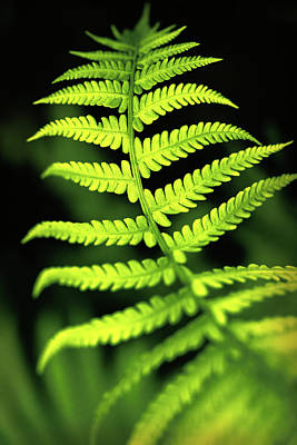 Photograph - Fern Leaf by Robert FERD Frank