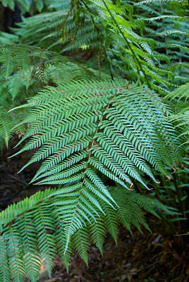 Photograph - Fern On Mt Tamalpais by Ben Upham III