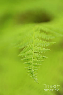 Photograph - Fern Opening by Alana Ranney