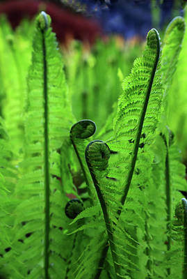 Photograph - Fern Unfurling by Nareeta Martin