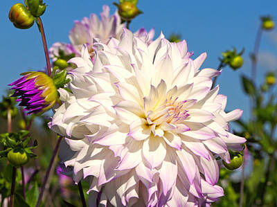 Photograph - Ferncliff Illusion Giant Dahlia by Sharon Talson