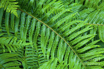 Photograph - Ferns After A Spring Rain by Bruce Block