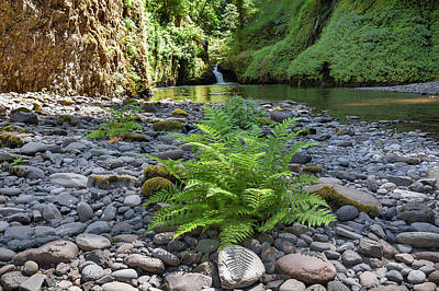 Ferns Along Banks Of Eagle Creek Art Print