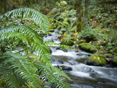 Pteridophyte Photograph - Ferns Along The Creek by Jean Noren
