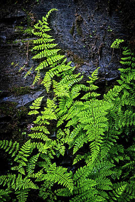 Photograph - Ferns Along The Gorge Wall by Carolyn Derstine