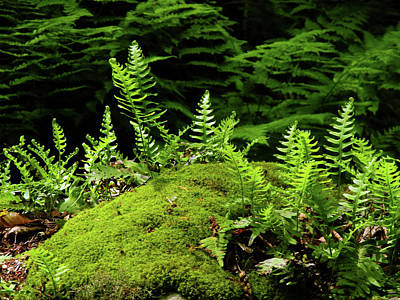 Photograph - Ferns And Moss On The Ma At by Raymond Salani III