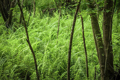 Photograph - Ferns At Crowley by Richard Goldman