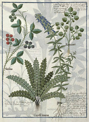 Fern Drawing - Ferns, Brambles And Flowers by Robinet Testard
