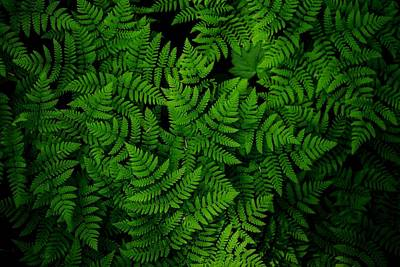 Photograph - Ferns Galore by Lynn Hopwood