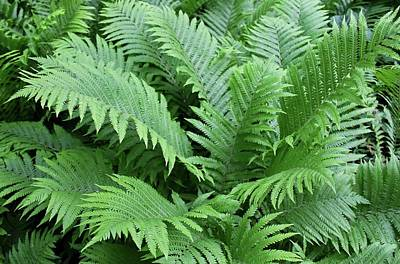 Photograph - Ferns I by Michiale Schneider