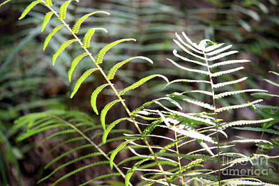 Photograph - Ferns In Natural Light by Carol Groenen