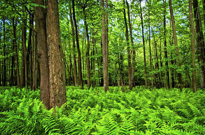Photograph - Ferns In The Forest by Carolyn Derstine