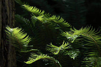 Photograph - Ferns In The Forest by Keith Boone